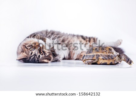 tabby cat. Cat and turtle
