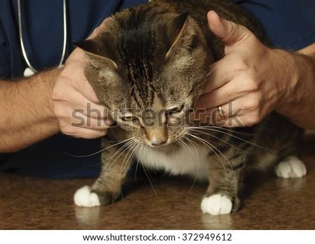 Tabby cat examined by a veterinarian  - stock photo