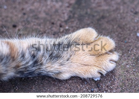 Tabby cat feet close-up - stock photo