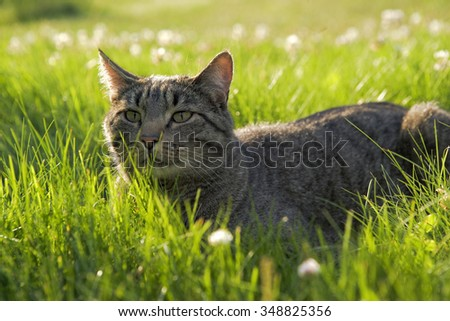 Tabby cat hunting in high grass, alert