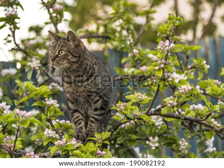 Tabby Cat in Apple Tree. This is a Scottish Tabby Cat within a blossoming apple tree in Elgin, Scotland. This cat resembles a Scottish Wildcat. - stock photo