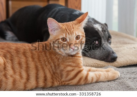 Tabby cat in foreground, dog in back.