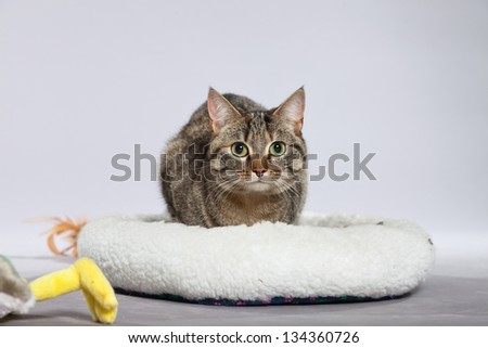 Tabby cat in white basket with toys. Studio shot against grey.