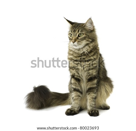 Tabby cat isolated on white background - stock photo