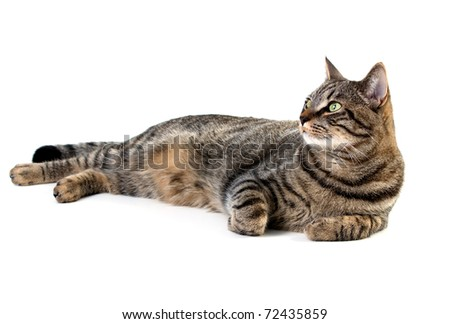 Tabby cat laying down on white background - stock photo