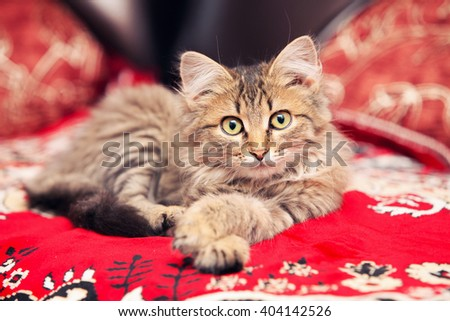Tabby Cat lies and looks into camera - stock photo