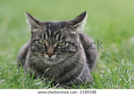 Tabby cat looking annoyed in the grass. - stock photo