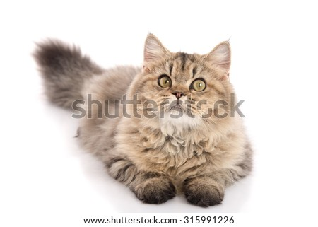 Tabby cat lying and looking on white background,isolated