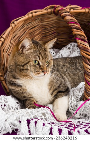 Tabby cat lying in a basket with white veil. Purple background - stock photo