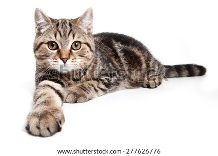 tabby cat lying with outstretched paw and looks at the camera (isolated on white)