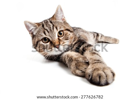 tabby cat lying with outstretched paw and looks at the camera (isolated on white) - stock photo