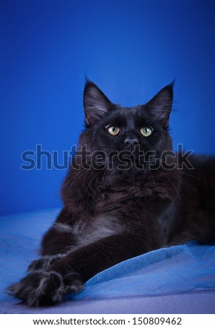 tabby cat, Maine Coon