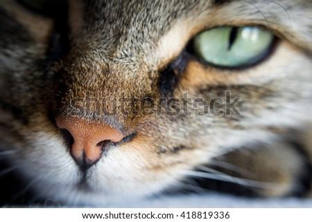 Tabby Cat Nose - stock photo