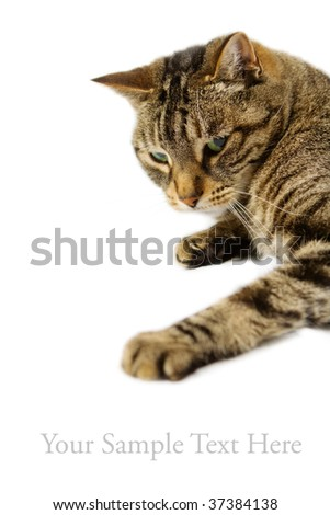 Tabby cat on white background - Focus on face - stock photo