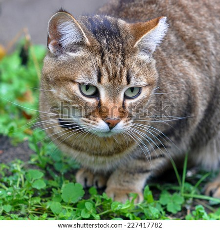 tabby cat outside - stock photo