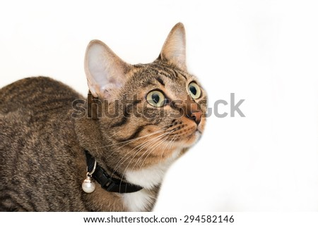 Tabby cat portrait looking something in white background - stock photo