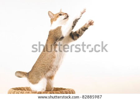 Tabby cat sits and looks forward on white background - stock photo