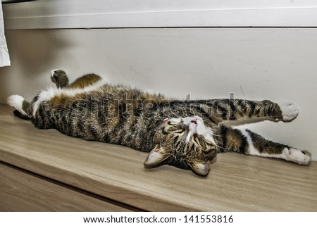 Tabby cat snoozing strechted - stock photo