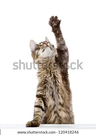 tabby cat swinging its paw. isolated on white background - stock photo