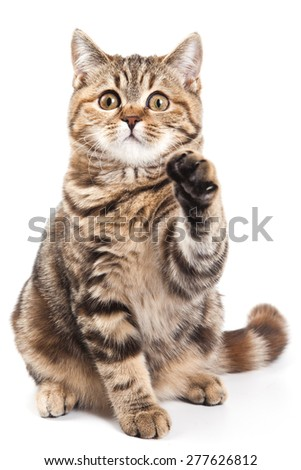 tabby cat with a raised paw sitting and looking at the camera (isolated on white) - stock photo