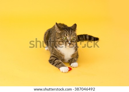 Tabby crazy greeneyed cat playing with toy  - stock photo