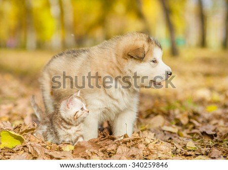 Tabby kitten and alaskan malamute puppy standing together in autumn park - stock photo
