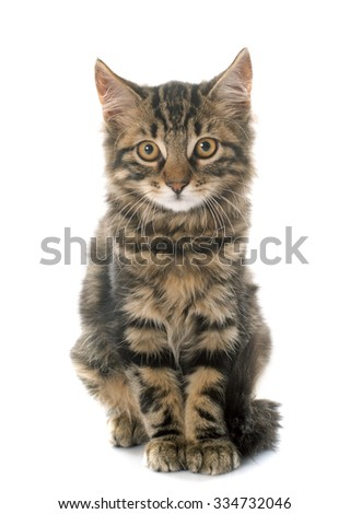tabby kitten in front of white background - stock photo