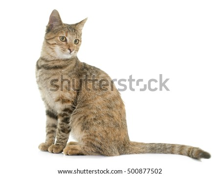tabby kitten in front of white background
