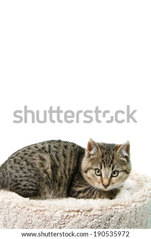 Tabby kitten lying on a cat bed, isolated on a white background. - stock photo