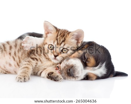 Tabby kitten lying with basset hound puppy. isolated on white background - stock photo