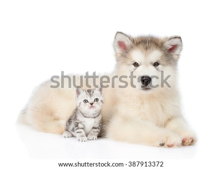 Tabby kitten sitting with Alaskan malamute puppy. isolated on white background