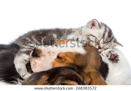 Tabby kitten sleeping on puppies basset hound. isolated on white background - stock photo