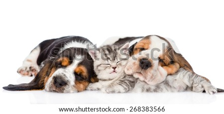 Tabby kitten sleeping with Basset hound puppies. isolated on white background - stock photo