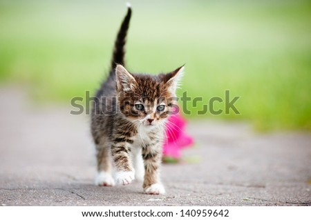 tabby kitten walking outdoors - stock photo