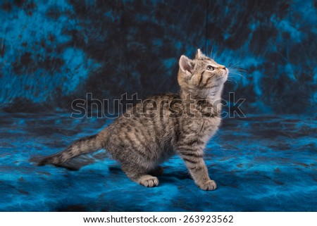 Tabby Kitten with Blue and Black Background - stock photo