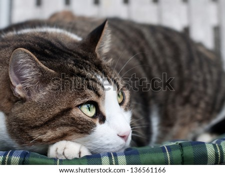 tabby male cat relaxing on a chair
