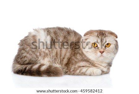 Tabby scottish kitten looking at camera. isolated on white background - stock photo