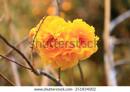 Tabebuia chrysantha (Jacq.). The beautiful color flower in the brighten sunlight.  - stock photo