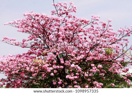 Tabebuia rosea tree pink trumpet flower stock photo royalty free tabebuia rosea ee pink trumpet flower with blue sky mightylinksfo