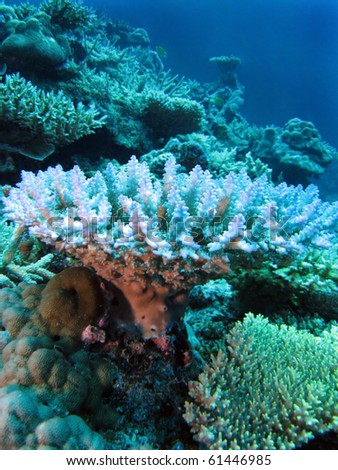 Table coral (Acropora pharaonis) - stock photo