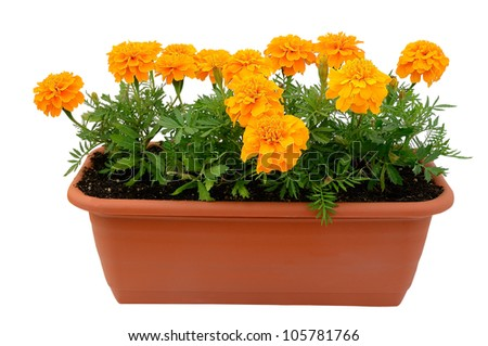 Tagetes flower in balcony flowerpot isolated on white background - stock photo