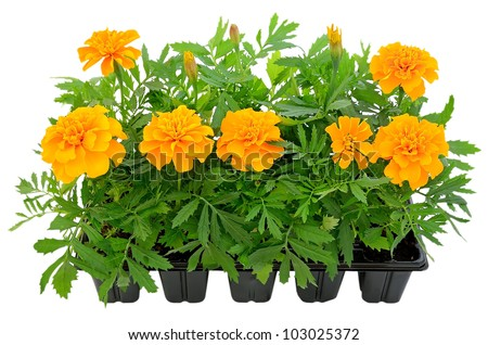 Tagetes flower seedlings in containers isolated on white background - stock photo