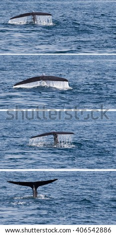 Tail humpback whale fluke up dive in the water - stock photo