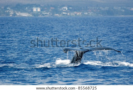 Tail Humpback Whale with island. Humpback Whale diving in to the sea next to coast of Hawaii and only tail have left outside of sea. - stock photo