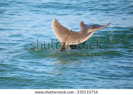 Tails of diving Common bottlenose dolphins near Sanibel island in Florida - stock photo