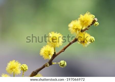 Taiwan Acacia dealbata (Mimosa) in bloom Close-Up . - stock photo