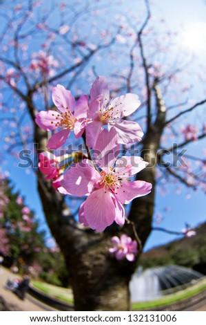 Taiwan Yangmingshan National Park cherry blossoms - stock photo