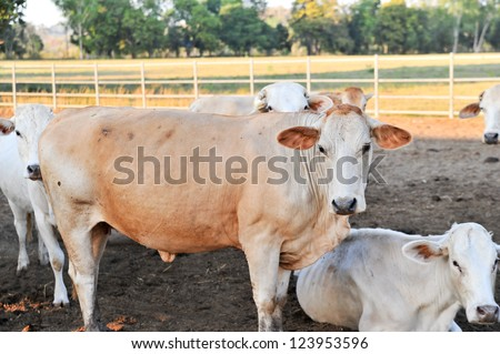 tak breed cow in thailand
