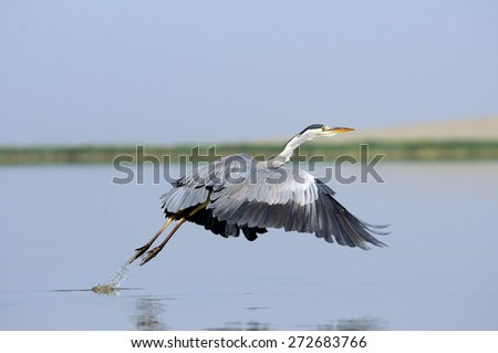 Take-off of Grey Heron (Ardea cinerea) on Manych lake, Kalmykia, Russia  - stock photo