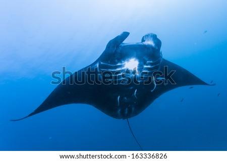 take photo under black manta ray - stock photo